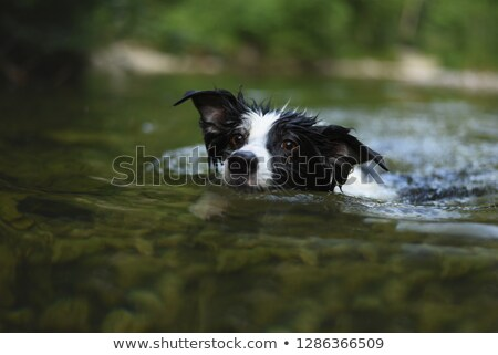A dog swimming in the river Stock photo © raywoo