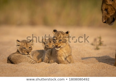 Lion cub sitting in a dry riverbed. Stock photo © simoneeman