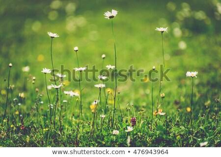 Vad virágok fű homály zöld bokeh homályos Stock fotó © romvo