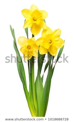 Narcis liefde cartoon illustratie bloem bladeren Stockfoto © cthoman