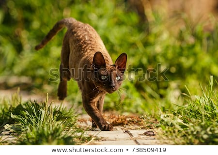 Cornish Rex cat / kitten Stock photo © CatchyImages