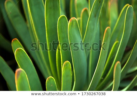 Closeup detail of the fan-aloe Stock photo © boggy