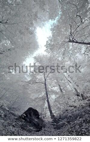 Infravermelho floresta panorâmico quadro belo Foto stock © ldambies
