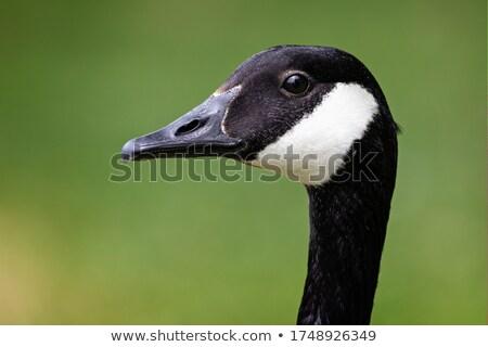Canada Goose Head Shot Stock photo © mackflix