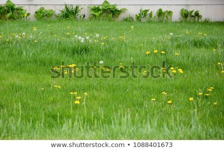 Alto erva daninha gramado grama em pé Foto stock © iofoto