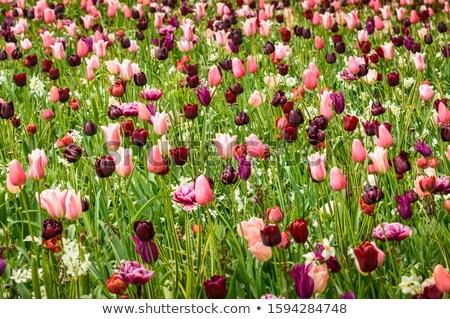 Mysticus veld roze tulpen natuur landschap Stockfoto © duoduo