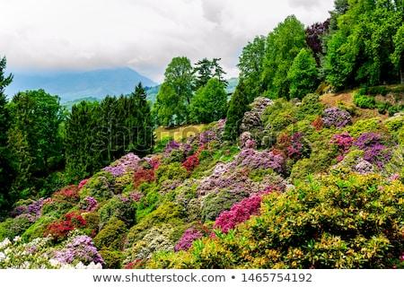 Rhododendron 22 Stock photo © LianeM