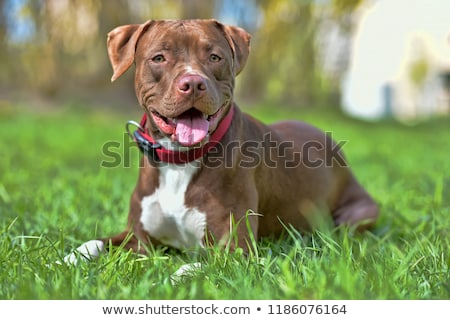 playing stafforsdshire bull terrier Stock photo © cynoclub