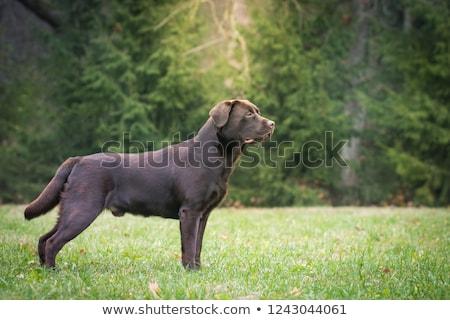 chocolate · labrador · retriever · cão · sessão · isolado · branco - foto stock © eriklam