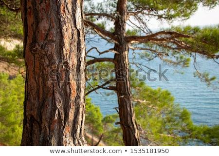 Pine Bark Background Landscape Stock photo © saje