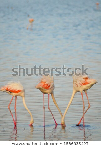 Group of three flamingos. Vertically. Stock photo © frank11