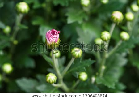 Rosso fiore natura bellezza Foto d'archivio © chrisbradshaw