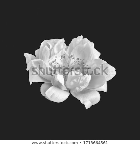 Foto stock: White Peony Flower Paeonia