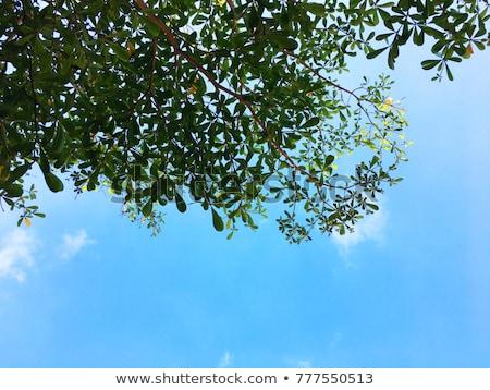 オーク 青空 森林 美 緑 ストックフォト © serpla