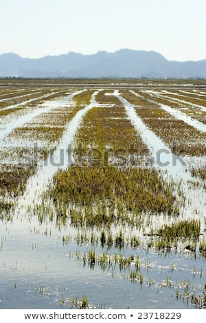 Growing rice fields in Spain. Water reflexion stock photo © lunamarina