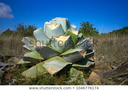 Agavé részlet mediterrán zöld természet virág Stock fotó © lunamarina