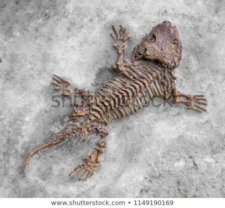 Fóssil natureza dinossauro biologia passado mineral Foto stock © Sarkao