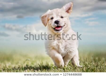 White Retriever Puppy Of 7 weeks Old.  Stock photo © ryhor