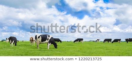 feketefehér · tehén · eszik · zöld · legelő · fű - stock fotó © taviphoto