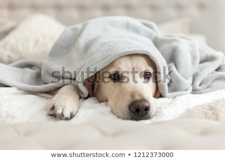 Triste cão estúdio azul animal veja Foto stock © c-foto