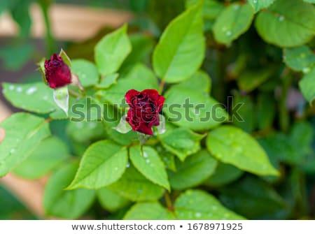 róż · wody · Fotografia · trzy · kroplami · wody · biały - zdjęcia stock © sirylok