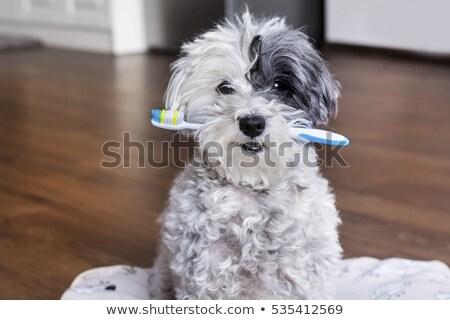 Dentes poodle branco boca preto estúdio Foto stock © cynoclub