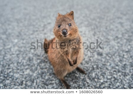 quokka Stock photo © clearviewstock