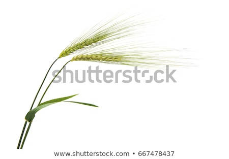 Young green barley crop field Stock photo © stevanovicigor