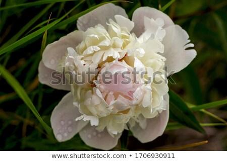 Pétalos rocío gotas floral espacio de la copia flor Foto stock © teerawit