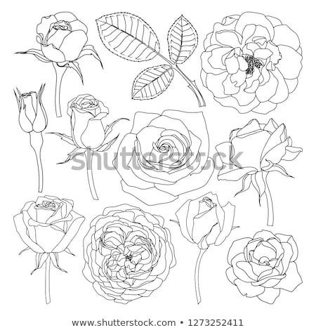 sketchy rose flowers Stock photo © get4net