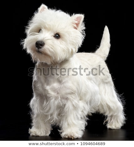 Stock photo: West Highland White Terrier portrait in a black studio
