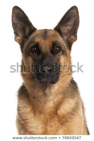 Сток-фото: пастух · собака · волос · работает · пить · весело