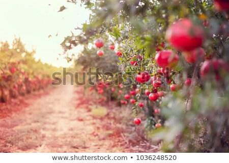 Ripe pomegranate fruit on the tree branch Stock photo © stevanovicigor