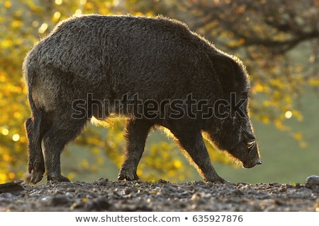 wild boar foraging for food at dawn Stock photo © taviphoto