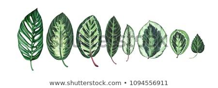 Watercolor illustration of tropical leaves beautiful monstera le Stock photo © Margolana