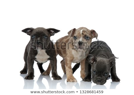 Сток-фото: 3 American Bully Dogs Standing Together And Sniffing Floor