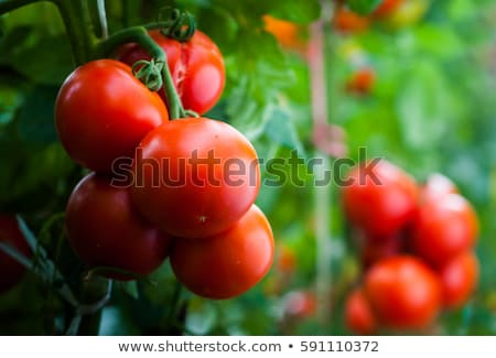 Ripe cherry organic tomatoes in garden ready to harvest with water drops Stock photo © Virgin