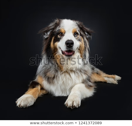 красивой взрослый австралийский собака Сток-фото © CatchyImages