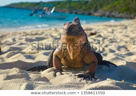 Ilha iguana Bahamas animal fauna natureza Foto stock © dolgachov