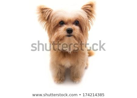 Weitwinkel Porträt cute terrier Stock foto © vauvau