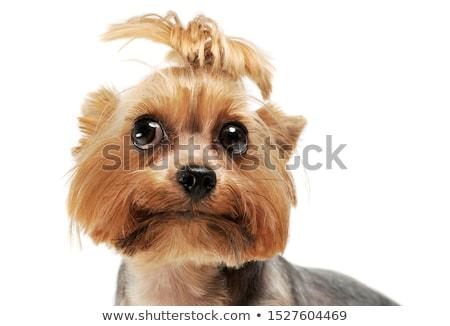 Adorável yorkshire terrier sozinho estúdio Foto stock © vauvau