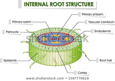Diagram showing internal root structure Stock photo © bluering