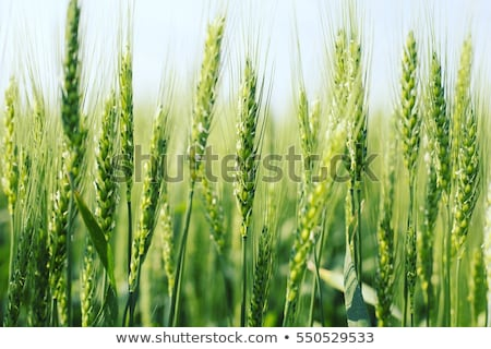 green wheat field stock photo © stoonn