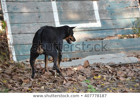 Dog urinating on tree Stock photo © dvarg