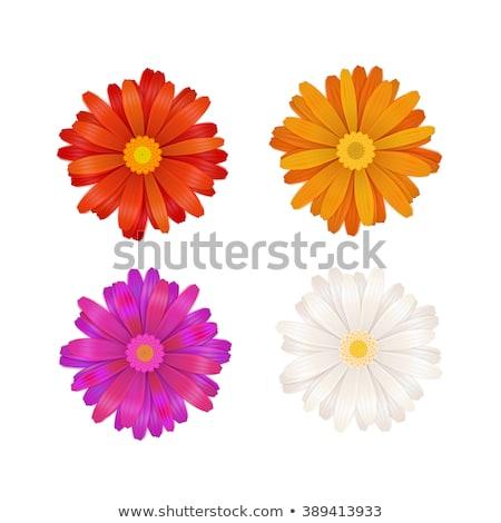 красочный · Ромашки · три · изолированный · белый · фон - Сток-фото © balefire9