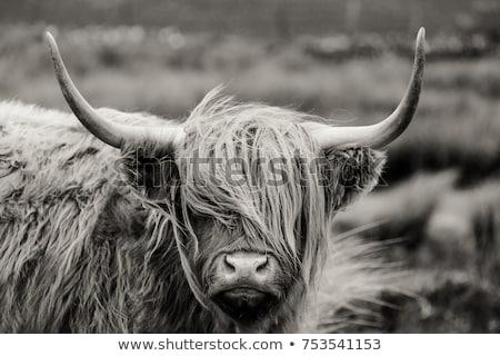 Foto stock: Gado · prado · vaca · fazenda · touro · escócia