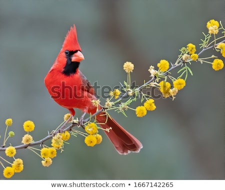 cardinal cardinalis cardinalis stock photo © brm1949