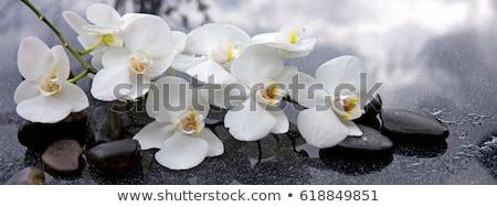 flor · blanca · orquídeas · aislado · blanco · negro · flor · negro - foto stock © artjazz
