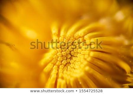 Schönen gelbe Blume Wassertropfen Schönheit Farbe gelb Stock foto © feedough