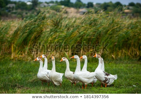 White geese Stock photo © angelp